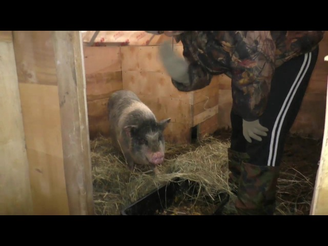 Натуральные фермерские продукты. Родильное отделение для свинок