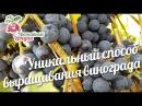Уникальный способ выращивания винограда urozhainye gryadki