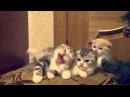Коты зевают