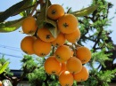 Japanese Fruits Picking Biwa Loquat