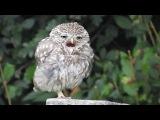Adorable Sleepy Baby Owl Yawning