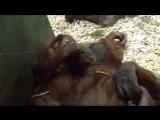 ОБЕЗЬЯНЫ. ЛЮБОВЬ Смешные обезьяны Приколы с животными. Animals fish