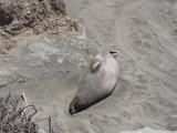 калифорнийские морские слоны