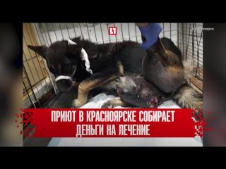 Пса с гигантской опухолью спасают от смерти в Красноярске