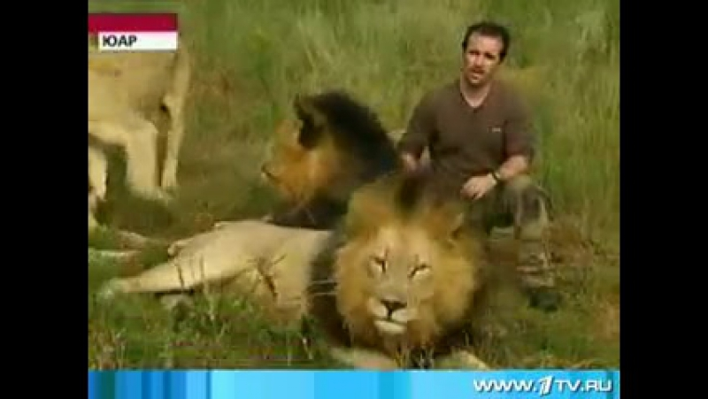 PAMIR TV - 24 В Южной Африке дикие львы приняли в свой прайд человека !!-[save4.net].mp4
