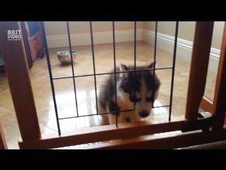 Недовольный щенок хаски