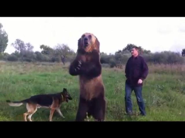Дрессированный медведь Тима