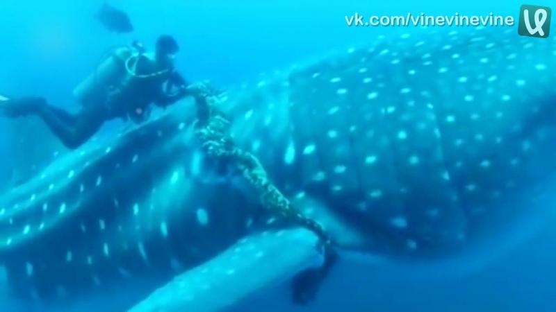 Дайверы помогают китовой акуле