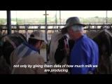 Видео про жизнь коровы Сюзанны голштинской породы