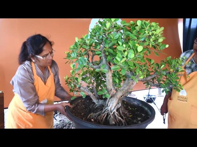 Ficus Bonsai, Ficus Long Island Bonsai, First Styling and Pruning Hindi, Marathi by Bonsai Namaste