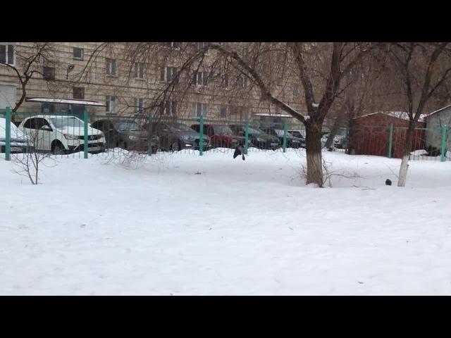 Спасем дерево!! Ворона нападает на ветку ГРИНПИС- АУ