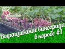 Выращивание винограда в коробе Формирование лозы и способы подвязки винограда 1