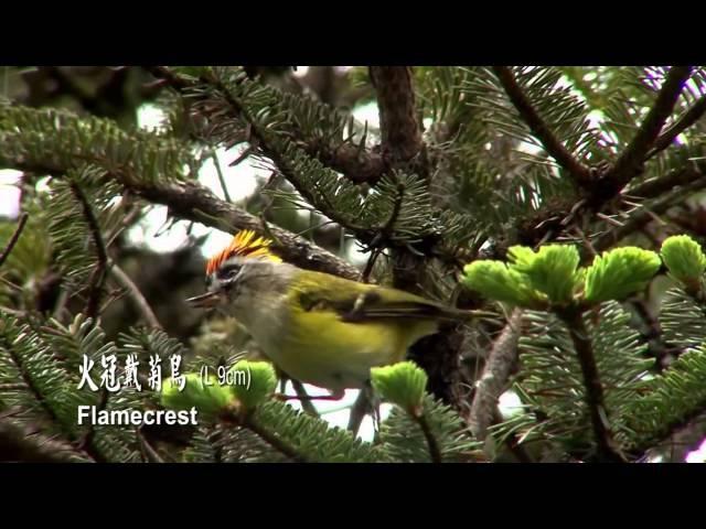 Balinden Rengin u Deng Xwes Linava Xwezaye . Different Birds Taiwan 6