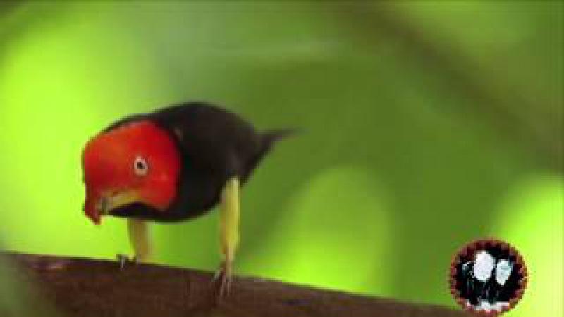 Moon Walkin' Manakin Bird ❣😍 (Courtin' Dance) 😍❣ Birdie Jean