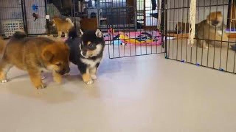 Shiba Inu Yavru Köpekler