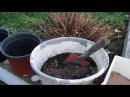 СТЕВИЯ Как сохранить растение зимой