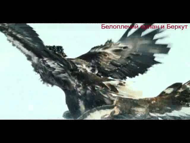 Сражение белоплечих орланов и беркутов на Камчатке