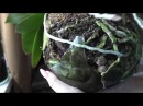 Орхидеи Мучнистый червец Что нового Опять разбила вазу Детки Цветоносы