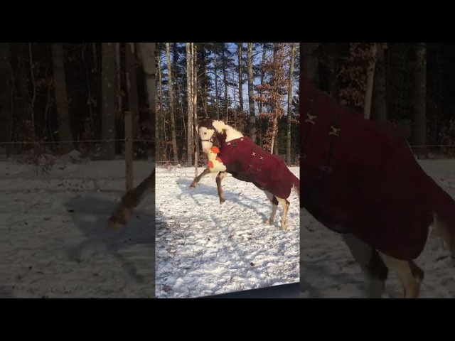 Horse Plays With Stuffed Toy in The Snow