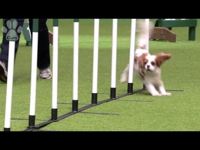 Super Cute Doggy Fail - Runs Into Pole | Crufts 2014
