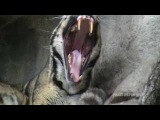 Clouded Leopard Yawning