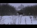 Охота на лосей