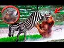 УБЕЙ или УМРИ Удивительные моменты из жизни диких животных Most Amazing Wild Animals Moments