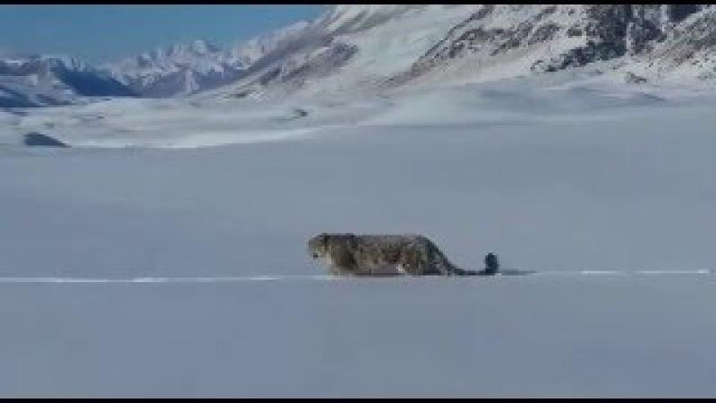 Алтайские охотники встретили снежного барса