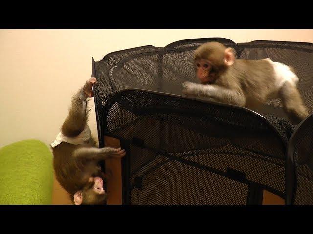 メッチャ可愛い赤ちゃん猿⑭今日の二匹は部屋で大暴れVery cute baby monkey ⑭Today 's two rampages i