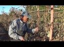 КОГДА ОБРЕЗАТЬ ВИНОГРАД Мнение виноградаря