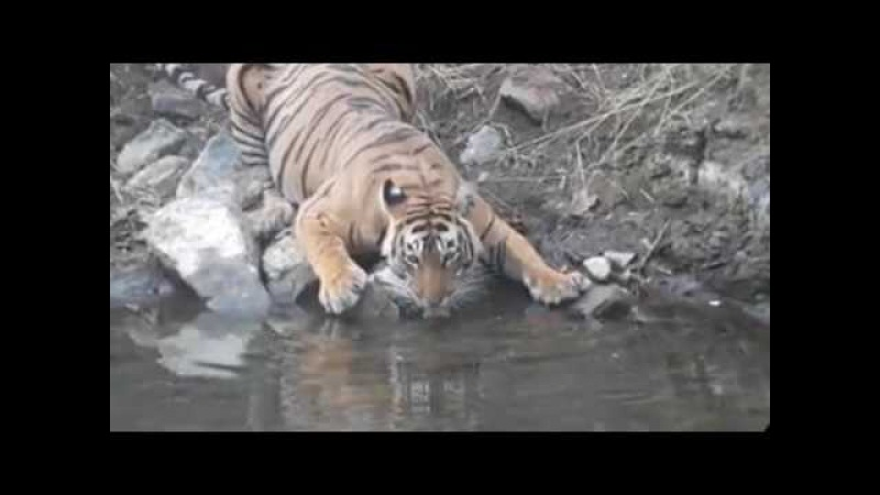 Tiger Drinking water in Ranthambore National Park