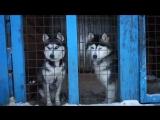 Прямой эфир из питомника  ездовых собак