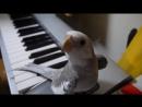 Попугай корелла поет саундтрек Мой сосед Тоторо