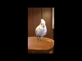 мой фюрер - попугай зигует 2.0 зига