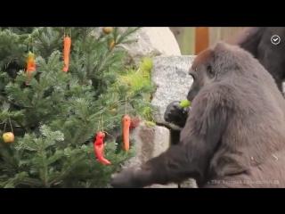 Обезьяны наряжают елку