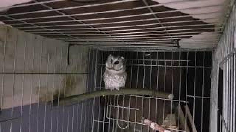 Голос мохноногого сыча Чучундрия (изображение с 30 секунды). Boreal owl's voice