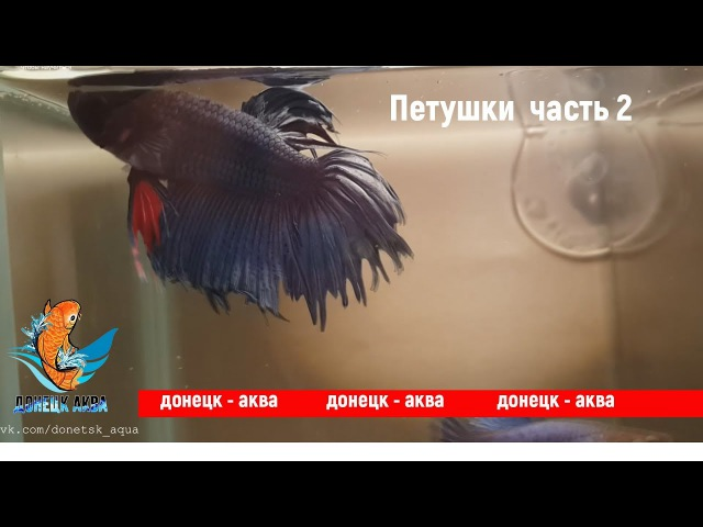 петушки 2, Betta, аквариумистика, HOW TO: Care for, kuidas Betta Fishi hoolitseda, akvariistika