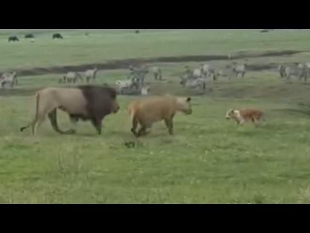 Leões sendo humilhados ao som de A Grande Família