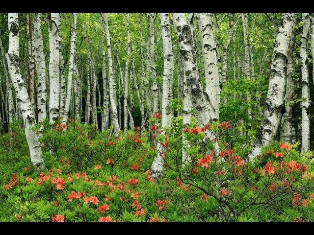 Берёза. Музыка Сергея Чекалина. Birch. Music by Sergei Chekalin. Russian music.