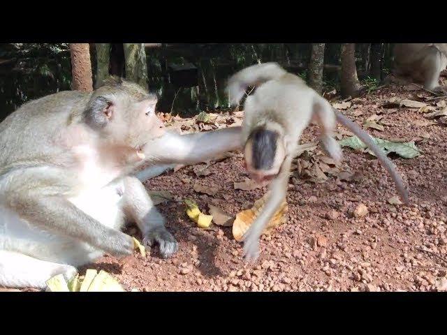 Why mom angry baby monkey, Baby monkey very hungry, monkeys 1061 Tube BBC