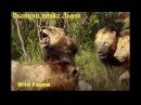 Прирождённые Короли /Великий прайд Львов (часть 3)