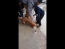 Питбуль напал на маленькую собаку