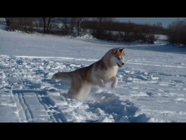Ори*Rave Review Oriental Princess , Siberian husky.