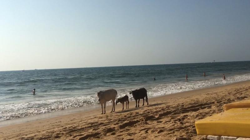 Пляж Индии коровы 🐄 священные животные))