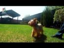 Йоркширский терьер - Интересные факты о породе - Собака породы йоркширский терьер