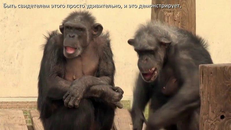 Спасенные из лабораторий шимпанзе