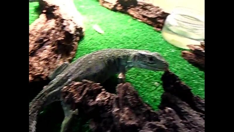 Жемчужный ящер