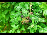 Ежевика. Целебные растения и их применение (Бабурин).