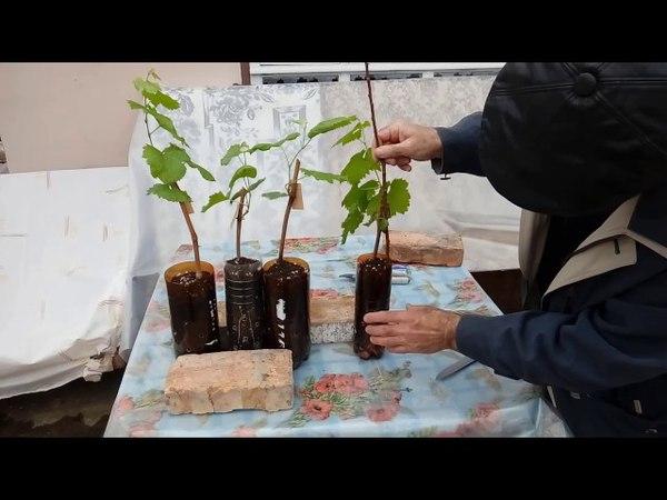 Обработка зеленых вегетирующих саженцев винограда от болезней и вредителей