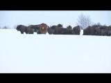 Корова, сбежавшая со скотобойни, ведёт самостоятельный образ на острове в Польше. (Видео) Корова, сбежавшая со скотобойни, ведёт
